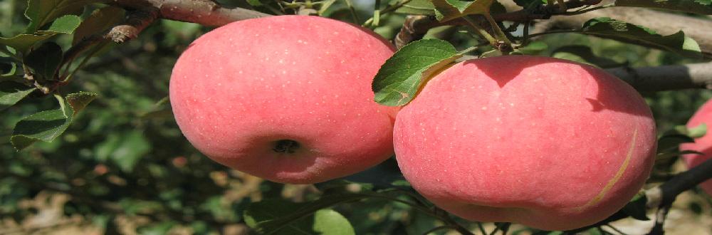 五星湖苹果